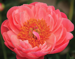 Paeonia 'Coral Charm' flw RK13 2