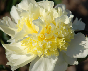 Paeonia 'Goldilocks' RK10 3