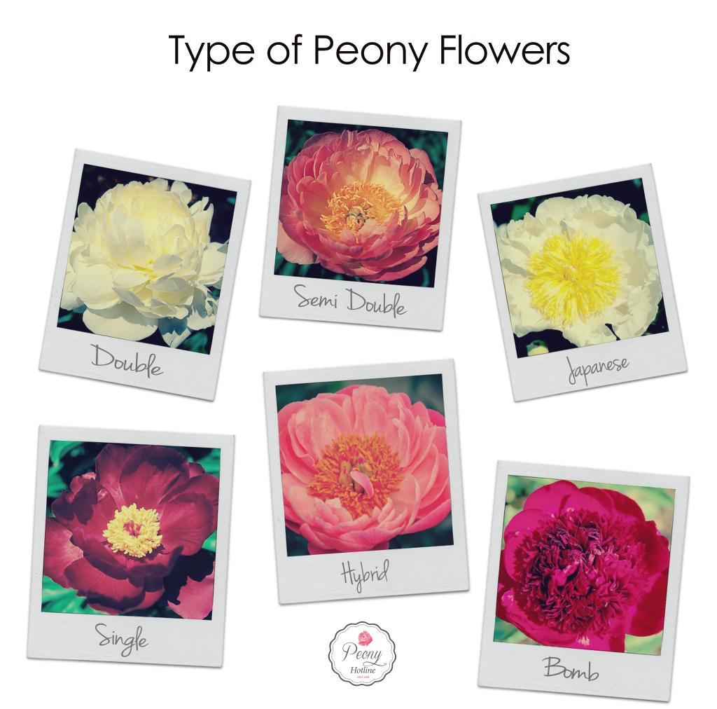 Type of Peony Flowers