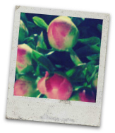 coral_charm_buds