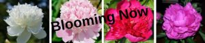 What's Blooming Now at PeonyHotline.com