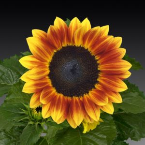 Flame Sunflower - Perfect for fall bouquets and designs - locally grown from Peony Hotline