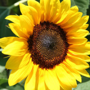 Brilliance Sunflower - locally grown from Peony Hotline