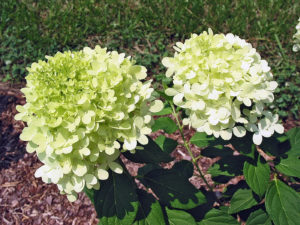 Limelight Hydrangea - bring volume and beauty to your design with locally grown flowers from PeonyHotline.com